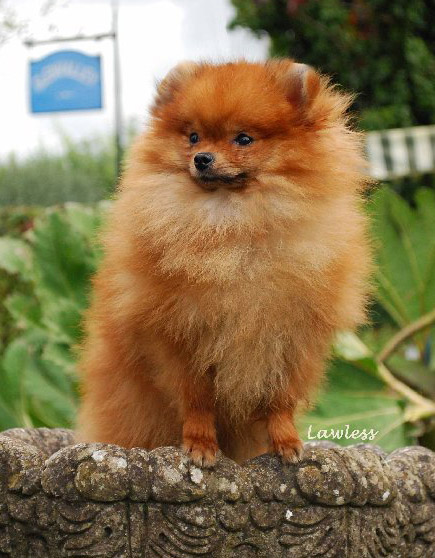 POMERANIAN CLUB OF SOUTH WALES - Pomeranian Colours