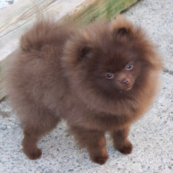 Brown pomeranian - photo#1