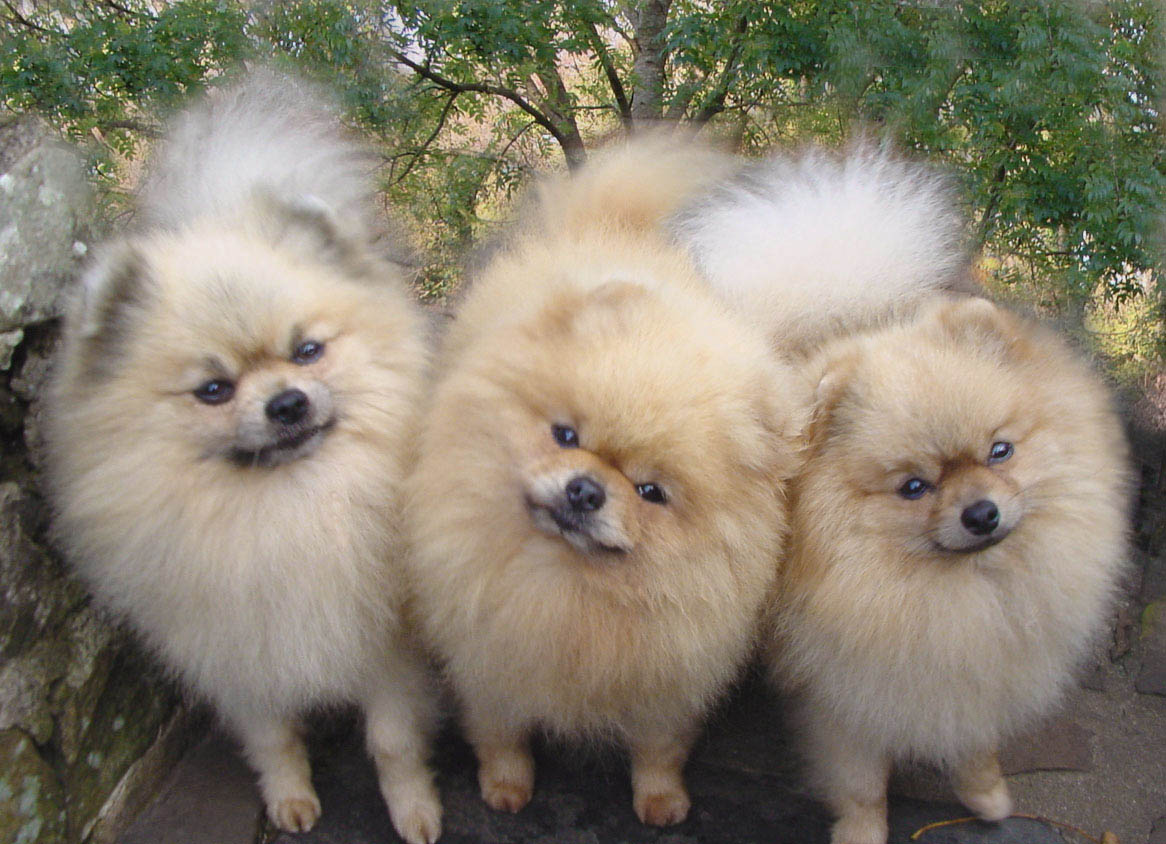 POMERANIAN CLUB OF SOUTH WALES - Pomeranian Colours