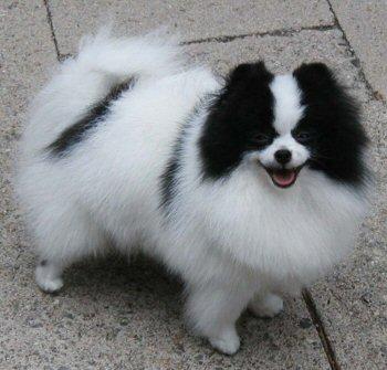 Pomeranian Club Of South Wales Pomeranian Colours